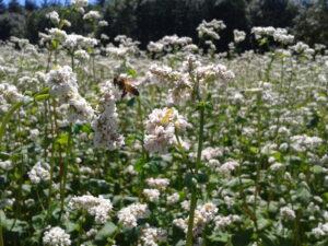Butinage sur fleur de sarrasin